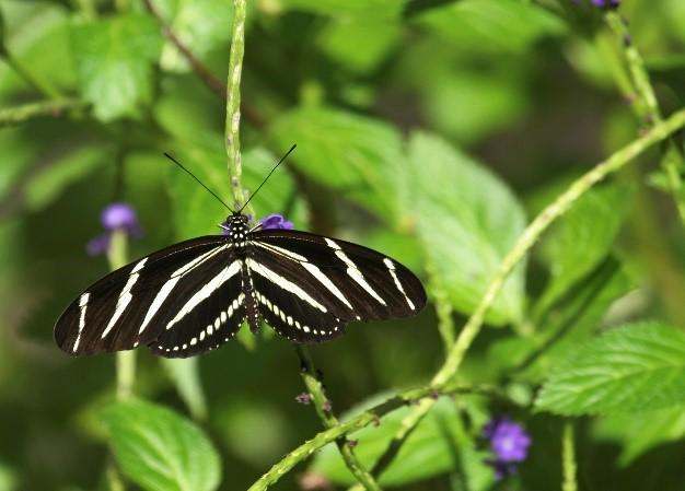 Figure 9.Zebra butterfly.