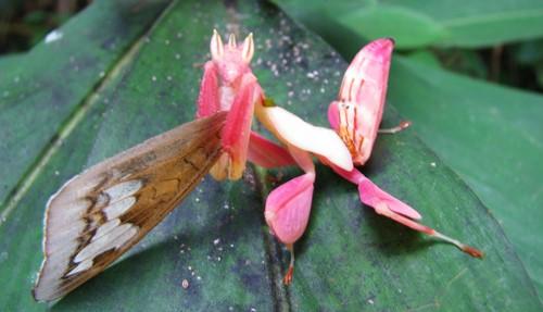 Figure 6.The orchid mantid, Hymenopus coronatus an exotic pet mantid species.