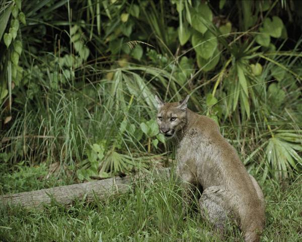Figure 1.A Florida panther