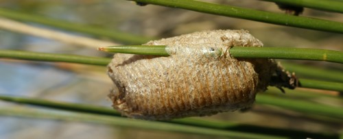 Figure 3.Mantid (Mantodea) ootheca (egg case) on a plant (unknown species).