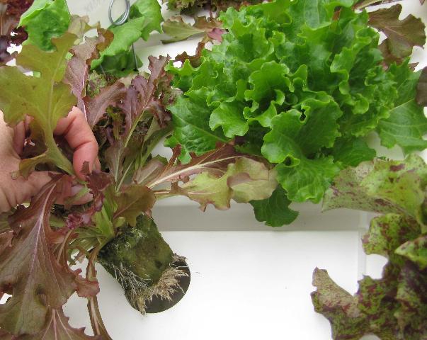 Figure 8.Loose leaf lettuces