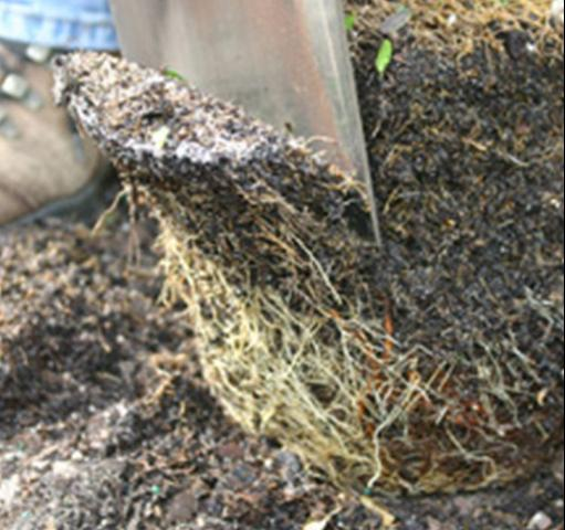 Figure 4.Shaving off the periphery and bottom of the rootball removes root defects and encourages rapid root growth into the soil.