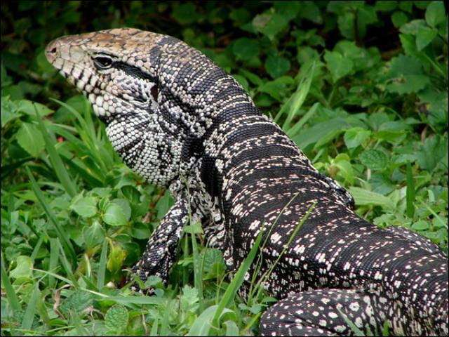 Figure 3. The body of black-and-white tegus is grayish and marked with dark bands with abundant light spots in between. Other tegu species are similarly marked, but base coloration may vary (as shown in Figure 4).