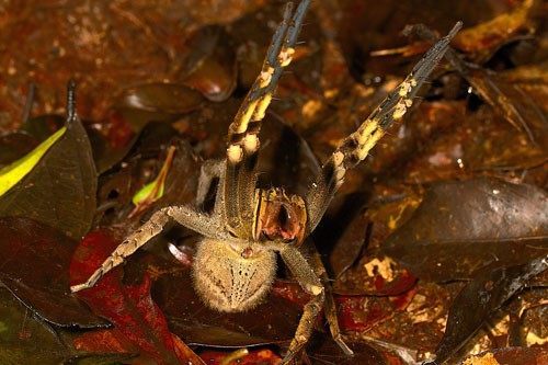 Figure 8.Characteristic threat display ofPhoneutriaspecies. When confronted by a potential predator,Phoneutriaspiders assume a pose that makes the spider seem much larger, while displaying the contrasting colors on the underside of the forelegs.