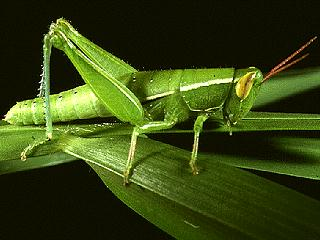 Figure 2.Linearwinged grasshopper, Aptenopedes sphenariodes (Scudder).