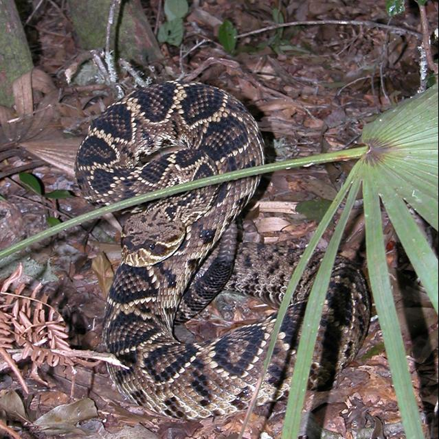 Figure 6. The eastern diamond-backed rattlesnake (Crotalus adamanteus) is also similar in appearance to the Florida pinesnake, but is a much heavier-bodied snake with obvious dark diamond marks bordered in white down the back, a dark facial band, and a large rattle.