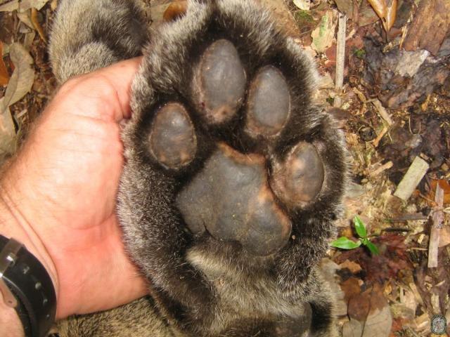Figure 2.Panthers' big paws leave distinctive tracks.