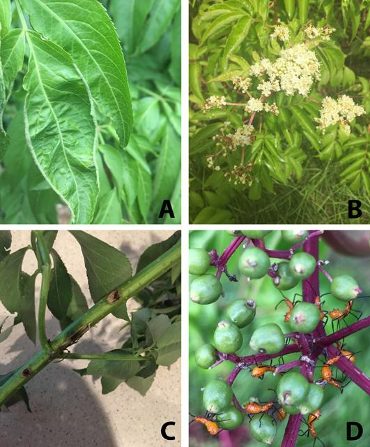 Figure 5. Early leaf infestation by Eriophyid mite (A), flower cyme with later Eriophyid mite damage (B), stem damaged by spindle worm borer (C), and leaf-footed bug nymphs on green berries (D).