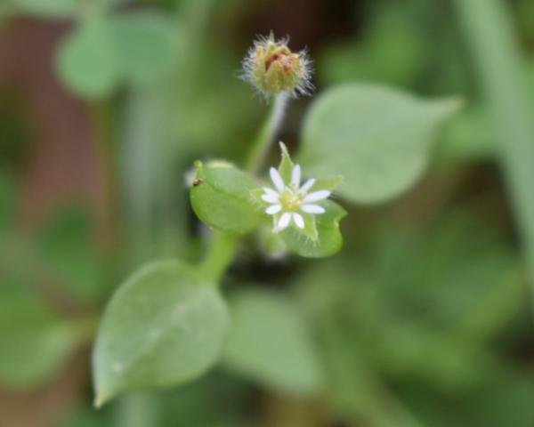 Figure 4. Stellaria media in flower (star-shaped flowers).