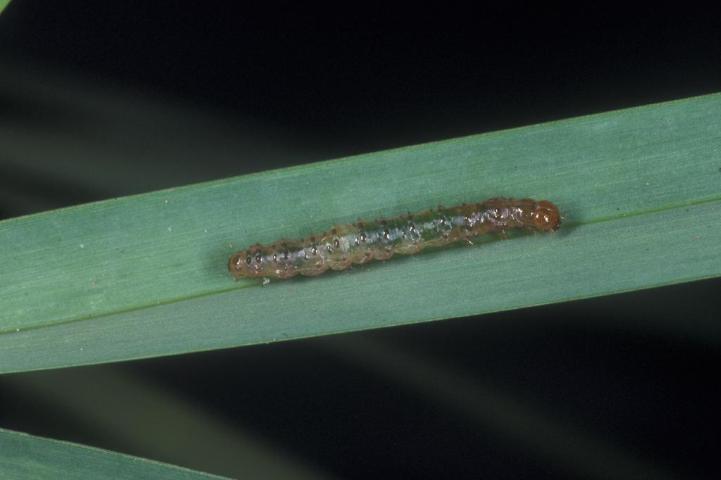 Figure 22.TSW larva.