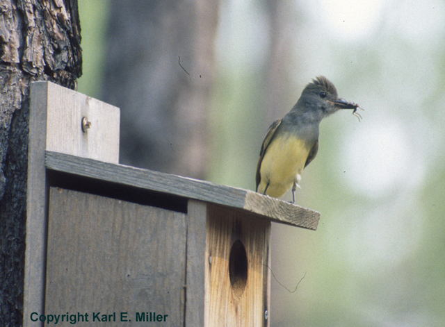 Figure 6.Many birds will nest in birdhouses (nest boxes). Here, a great-crested flycatcher perches atop a nest box.