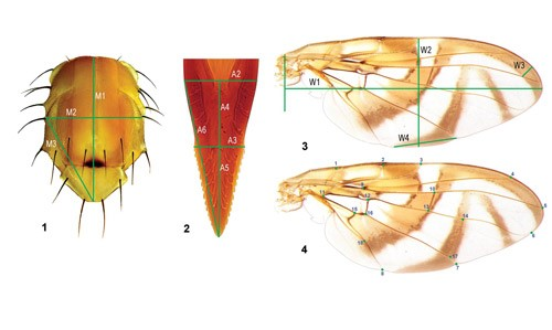 Figure 6.Morphological characteristics used to identify individuals from the Anastrepha fraterculus (Wiedemann) complex. 1. Thorax. 2. Aculeus tip (part of the ovipositor). 3 and 4. Multiple measurements from the wings.
