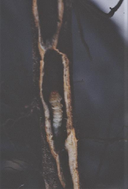 Figure 14. Tree borer inside the root.