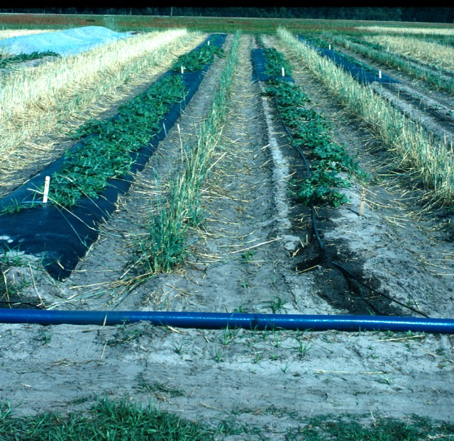Figure 9.Compare the watermelons at right, which were planted by tranplanting on bare ground, to the watermelons at left, which grew from transplants on polyethylene mulch. All transplants were planting on the same date.